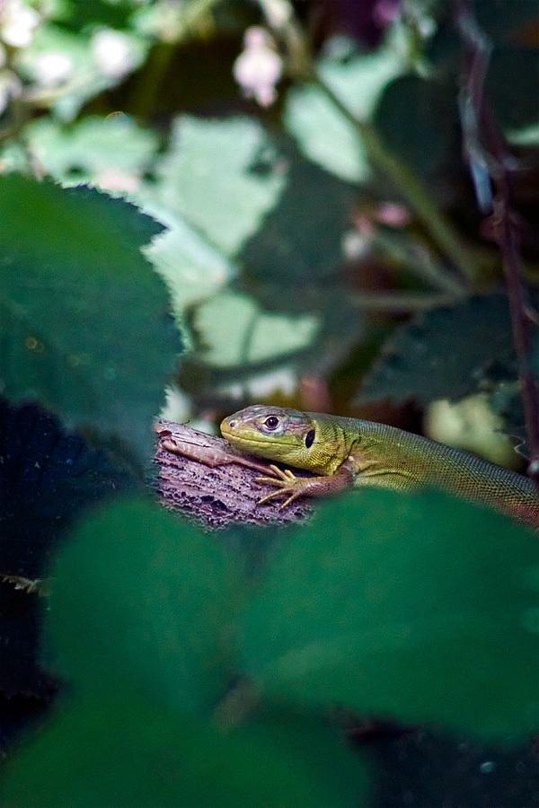 Lézard vert, Lacerta bilineata, photographie nature, zipanatura