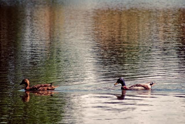 Les canards colvert