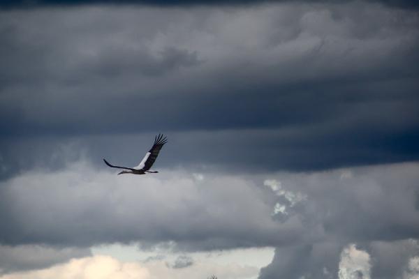 Cigogne en vol