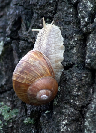 Escargot grimpeur