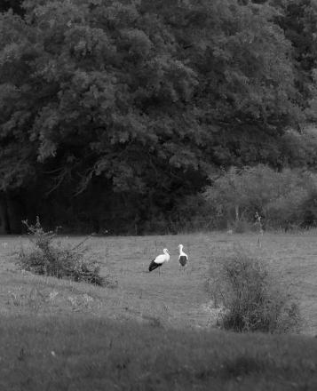 Deux cigognes