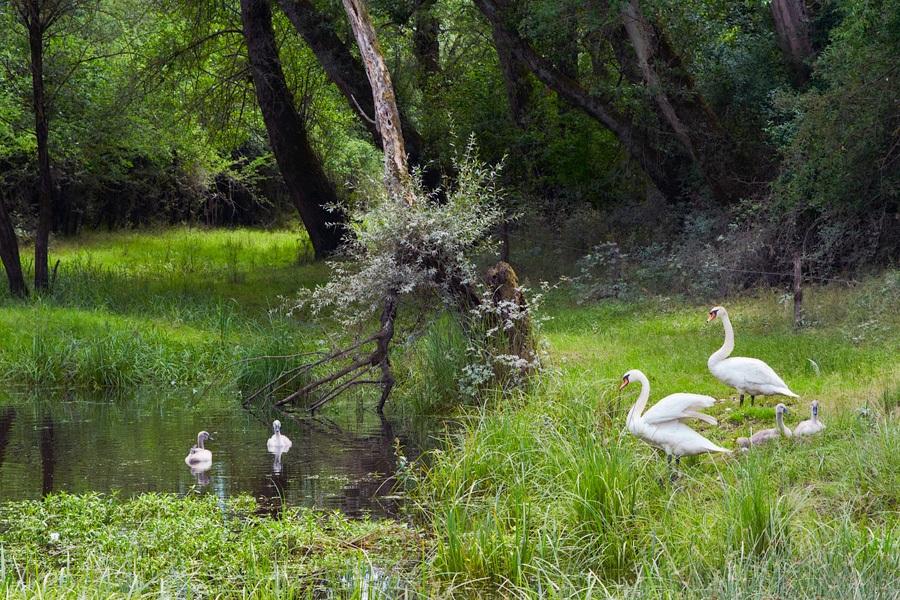 Cygnes, photographie nature, zipanatura