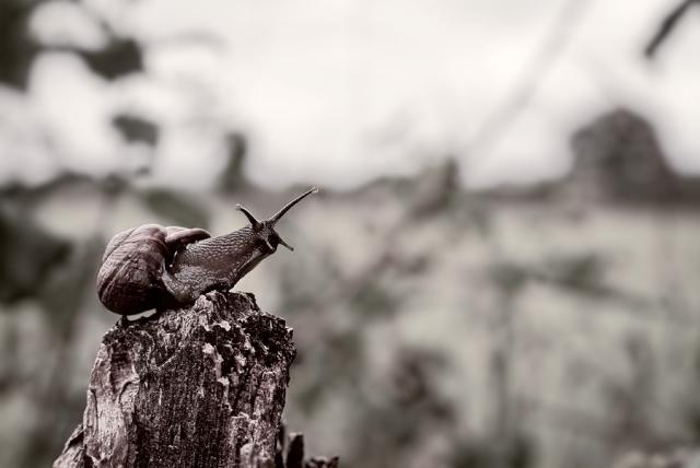 L'escargot des forêts