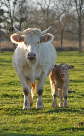 Vache & veau