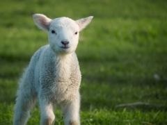 Petit mouton