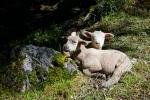 Petits moutons