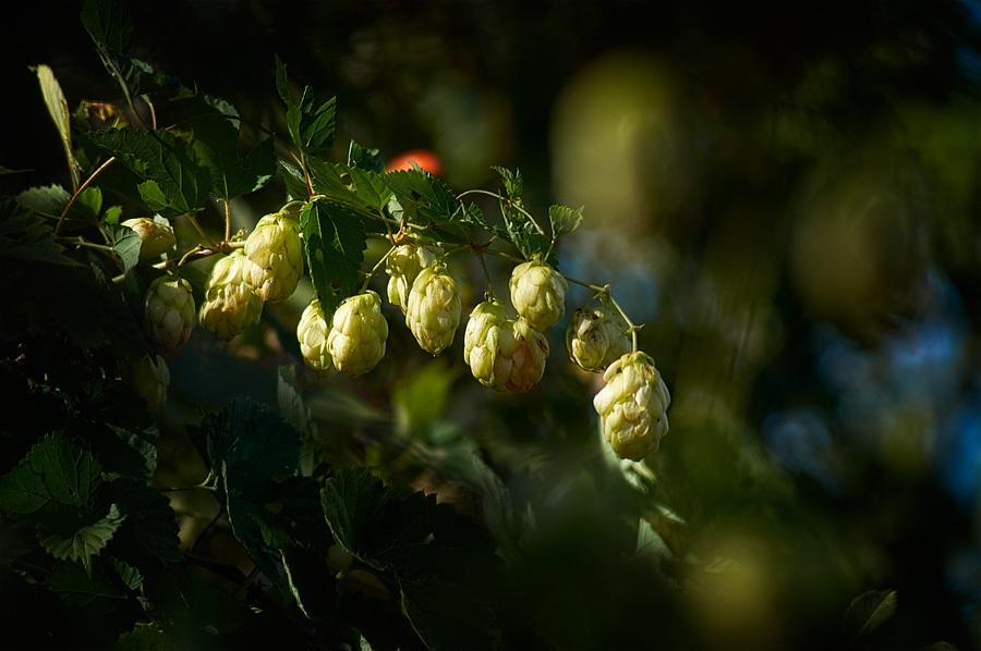 Houblon, humulus lupulus, photographie nature, zipanatura