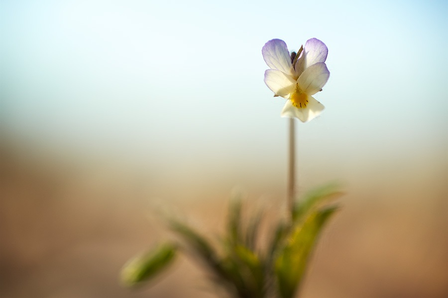 Pensée des champs, Viola arvensis, photographie nature, zipanatura