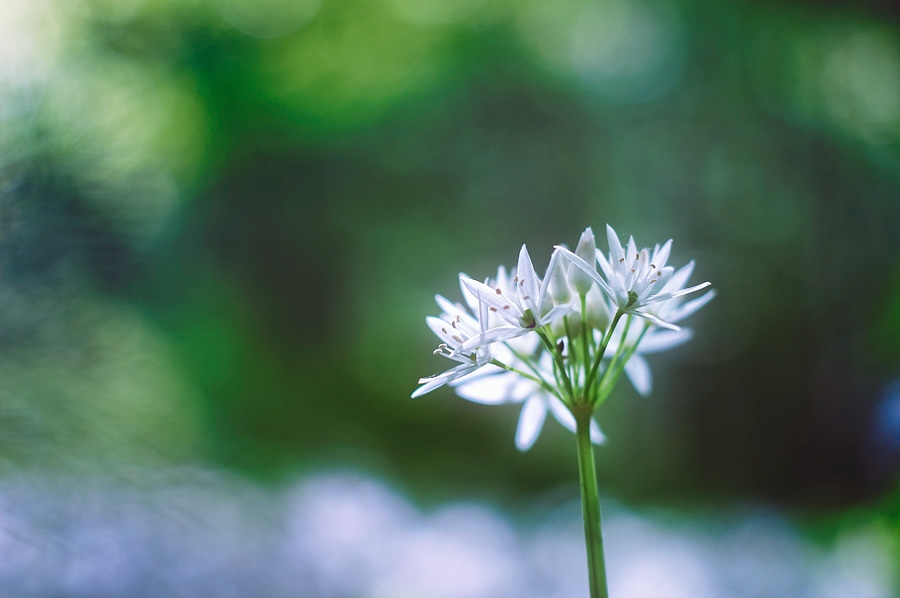 Ail des ours, allium ursinum, photographie nature, zipanatura
