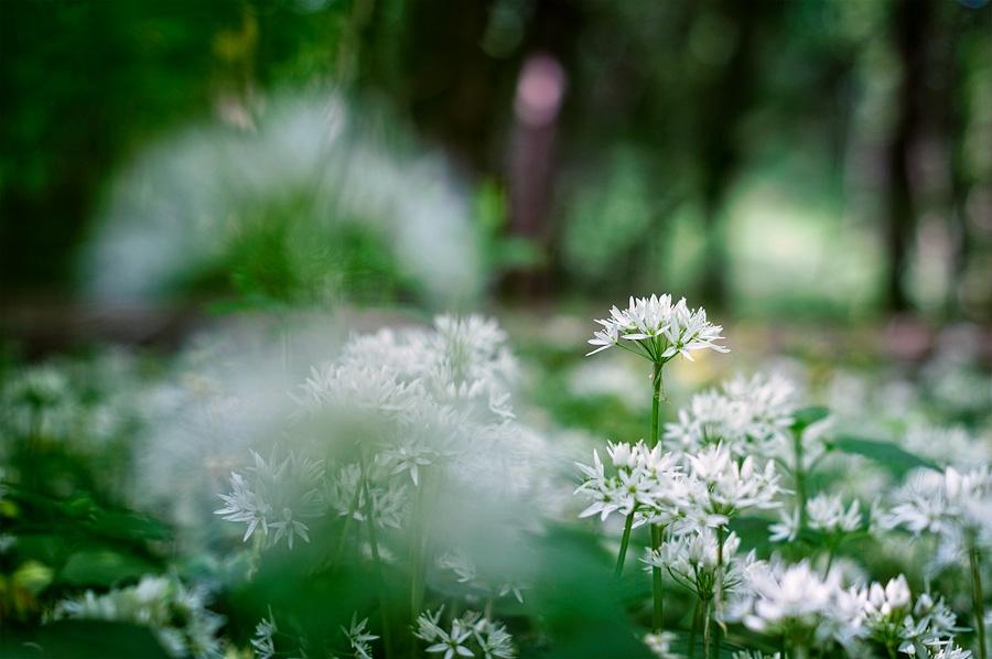 Ail des ours, allium ursinum, photographie nature, zipanatura