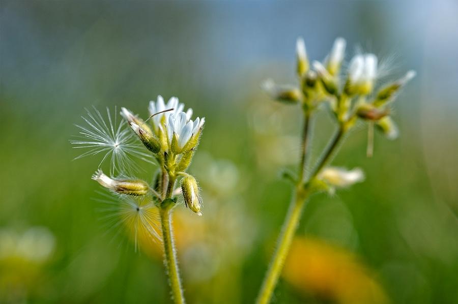 Ceraiste à fleurs agglomérées