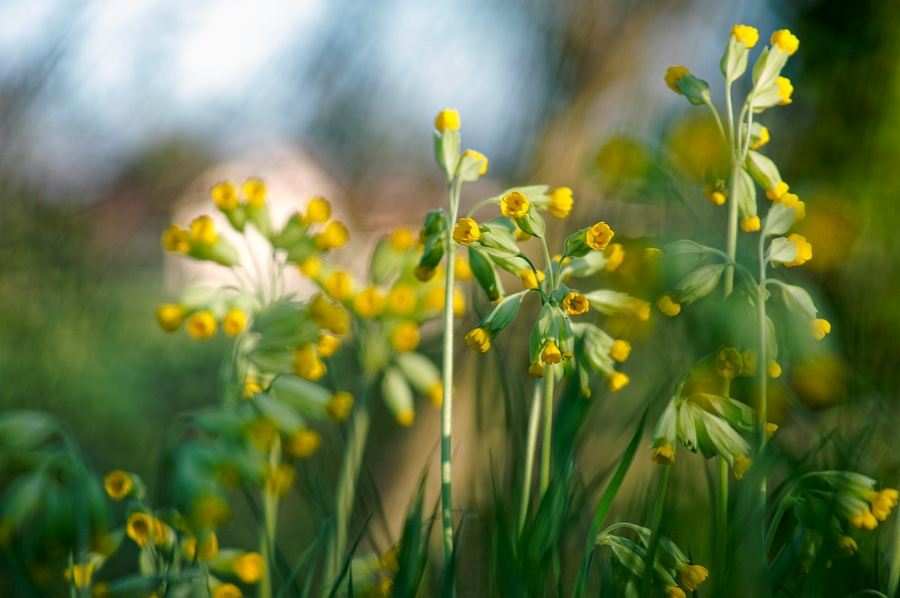 Primevère officinale, primula veris, photographie nature, zipanatura