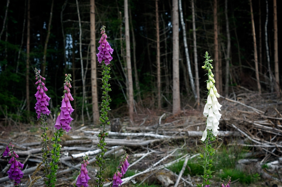 Digitales pourpres, digitalis purpurea, photographie nature, zipanatura