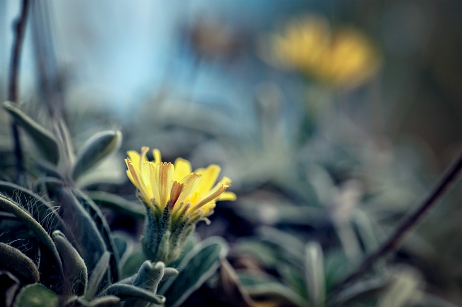 Épervière de loire, pilosella peleteriana, photographie nature, zipanatura