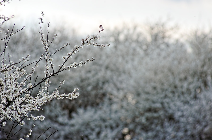 Prunelliers, prunus spinosa, photographie nature, zipanatura