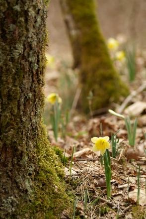 Jonquille dans les bois