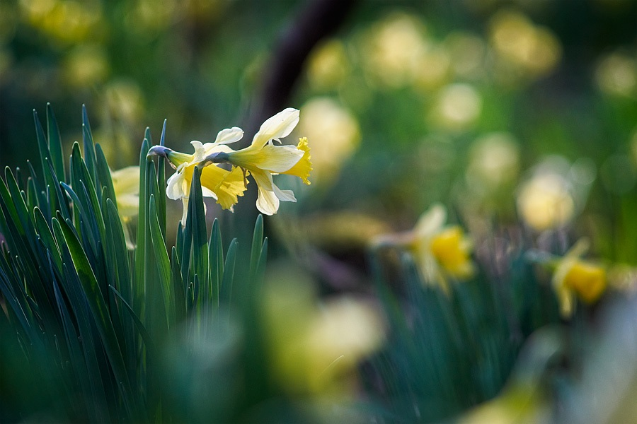Jonquilles, narcissus pseudonarcissus, photographie nature, zipanatura