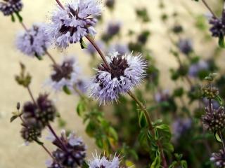 Fleurs de menthe pouliot