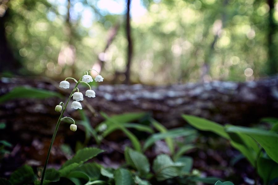 Muguet, convallaria majalis, photographie nature, zipanatura