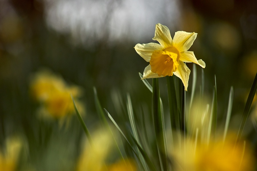 Jonquille, narcissus pseudonarcissus, photographie nature, zipanatura