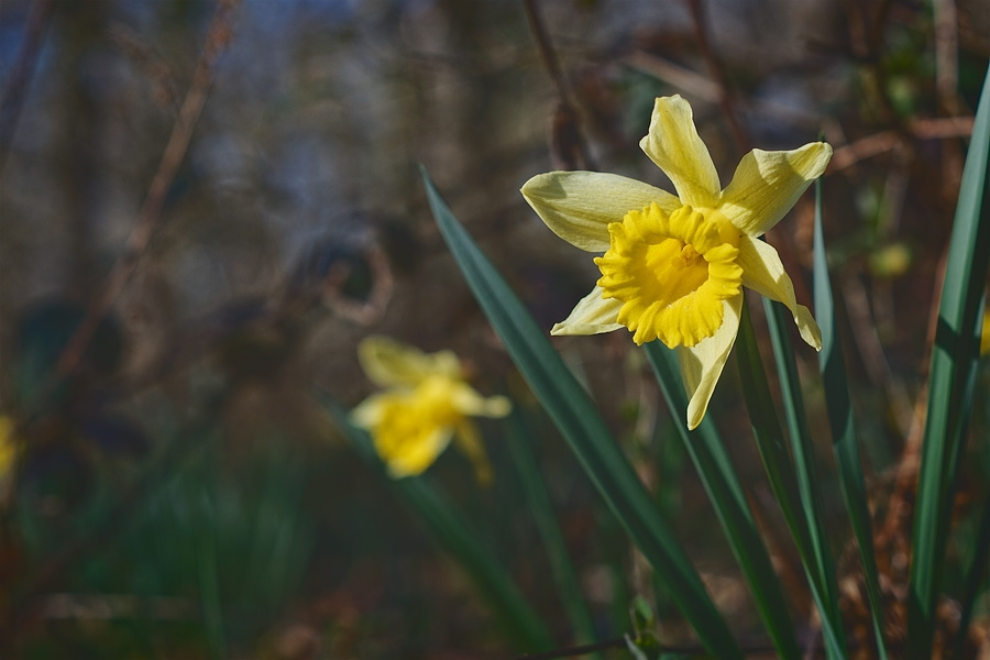 Narcisses jaunes