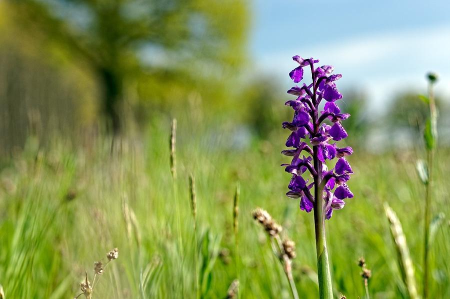 Orchidée bouffon