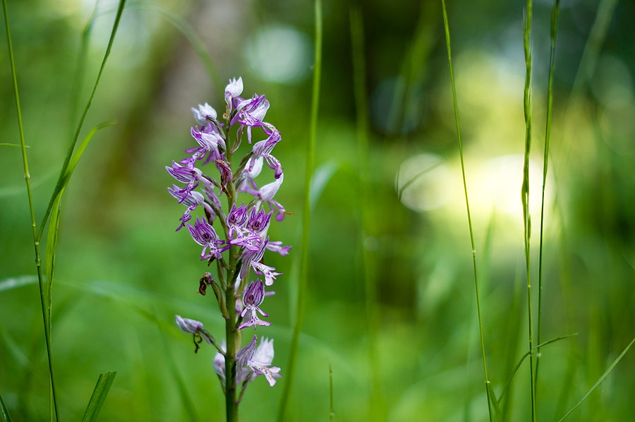 Orchis guerrier