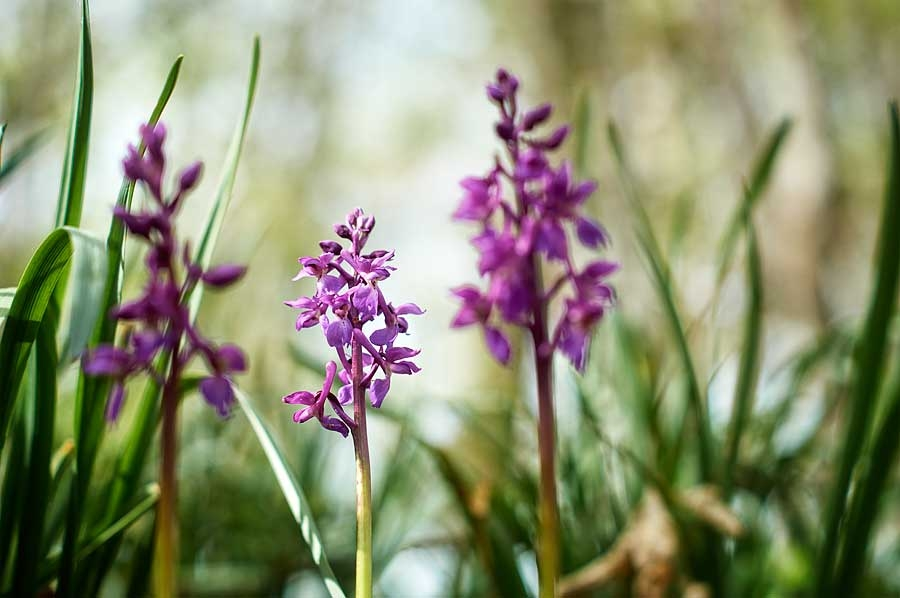 Orchis mâle, orchis mascula, photographie nature, zipanatura