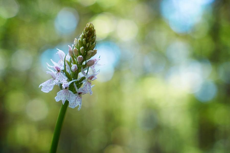 Orchys tachetée, dactylorhiza maculata, photographie nature, zipanatura