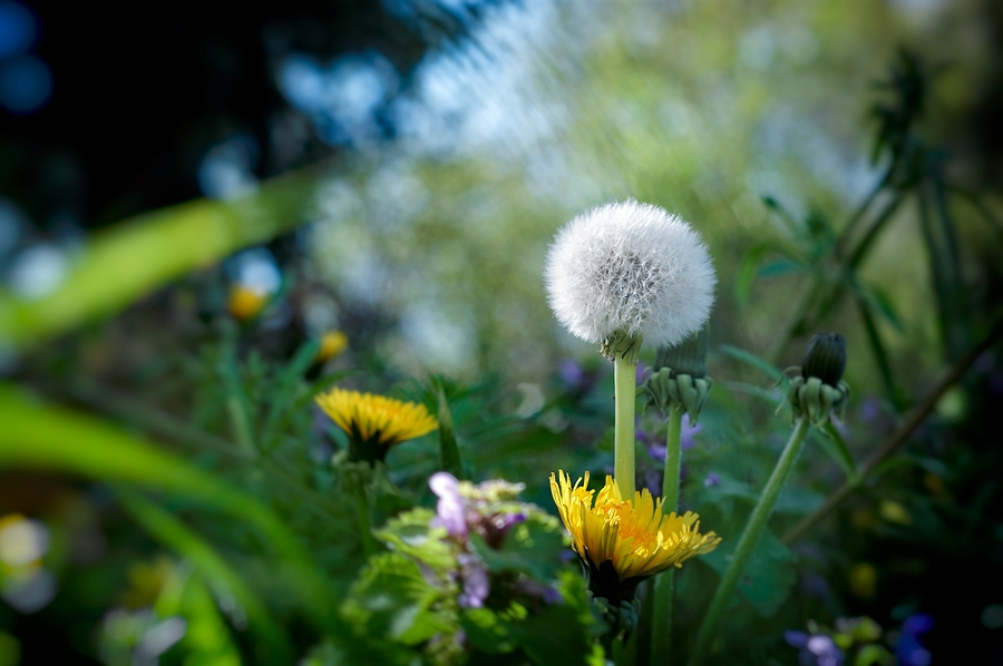 Pissenlit, taraxacum officinale, photographie nature, zipanatura