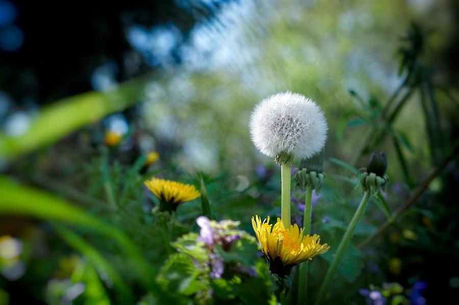 Pissenlit, taraxacum officinale, photographie nature, zipanatura