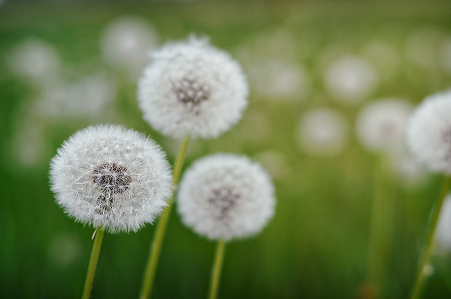 Pissenlits, taraxacum officinale, photographie nature, zipanatura