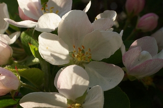 Fleurs de pommier sauvage