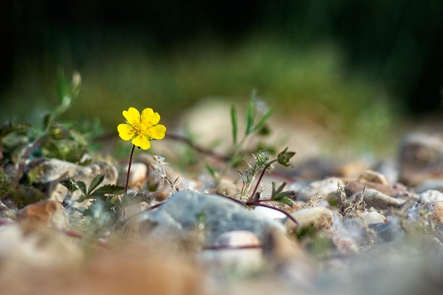 Potentille rampante, Potentilla reptans, photographie nature, zipanatura