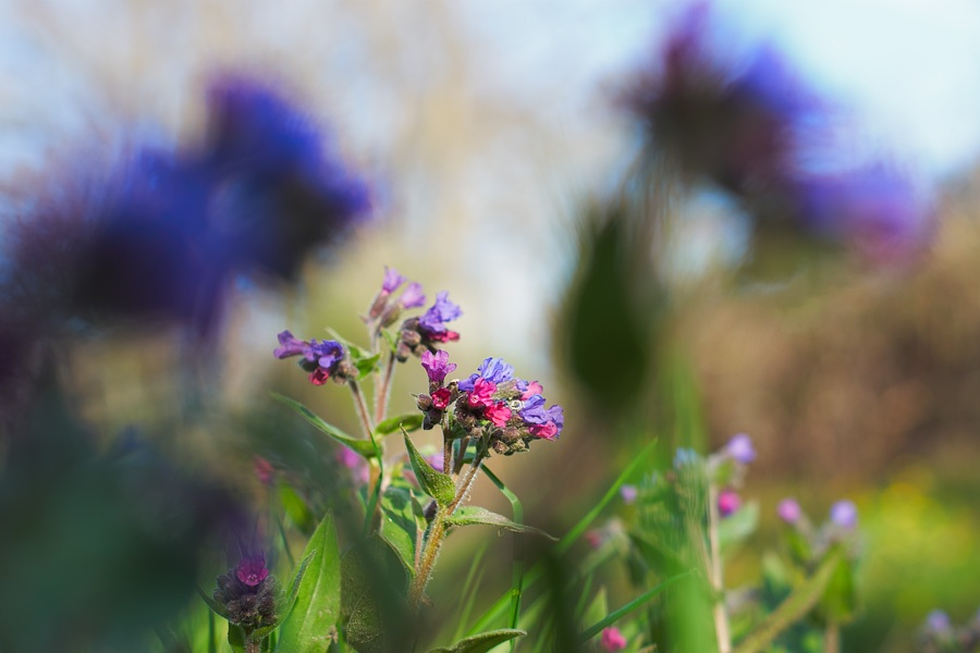 Pulmonaire officinale, pulmonaria officinalis, photographie nature, zipanatura