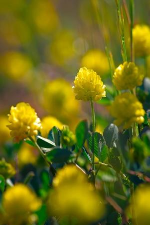 Trèfle jaune