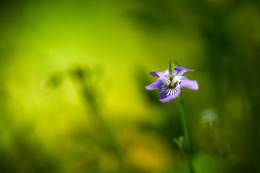 Violette des bois, Viola reichenbachiana, photographie nature, zipanatura