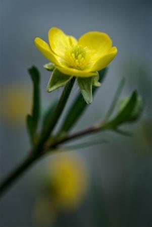 Fleur de bouton d'or