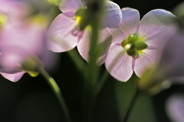 Fleurs de cardamine