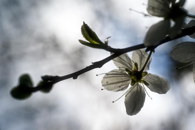 Fleur de prune sauvage