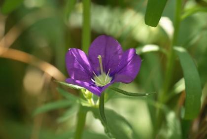 fleur-violet