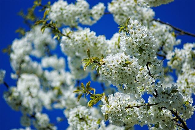 Fleurs du merisier