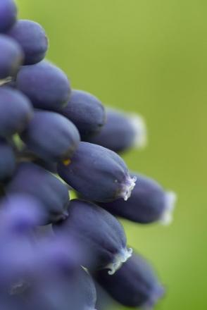 Détails de la fleur de Muscari