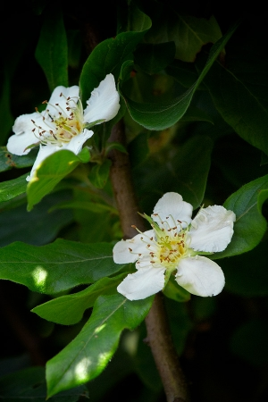 Fleur de néflier