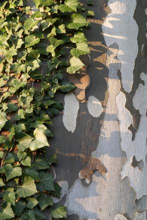 Feuilles de lierre sur tronc de platane