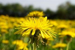 Champ de fleurs de pissenlits