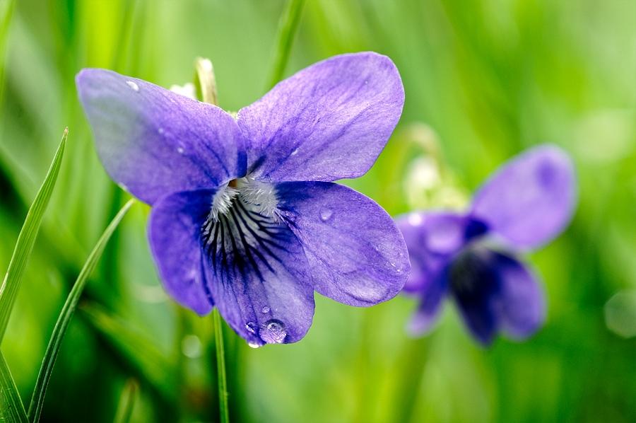 Violette de rivin