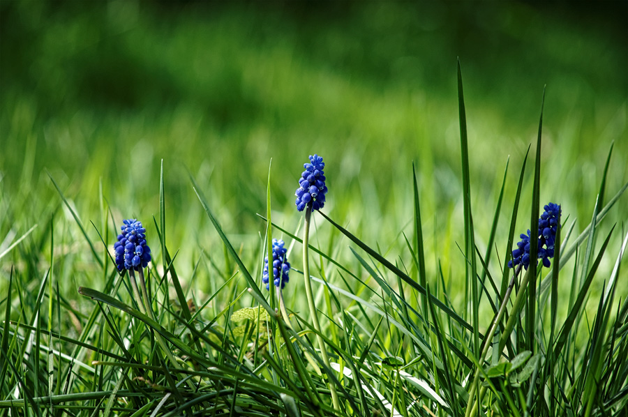 orchidee sauvage bleue