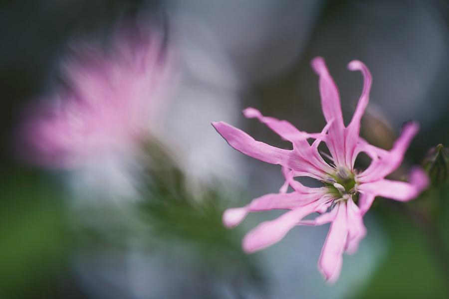 Fleur de coucou, Lychnis flos-cuculi, photographie nature, zipanatura
