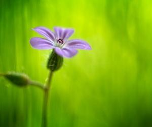 Herbe à Robert, Geranium robertianum, photographie nature, zipanatura